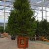 红豆杉盆栽制作-西安优惠的红豆杉盆景供应