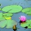 供应盆栽睡莲-想买品质好的盆栽睡莲,就到郑州花满溪园艺场