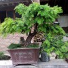 黑格斯盆栽-口碑好的红豆杉盆景哪里有