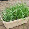 淘宝盆栽韭菜基地_划算的有机韭菜,茂源种药门市部供应