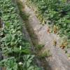 甘肃地膜回收-想买耐用的地膜就到兰州金土地塑料