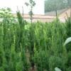 红豆杉批发-供应陕西品种好的红豆杉