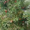 辽宁红豆杉苗种植-品种好的红豆杉苗推荐