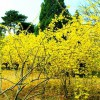 天津盆栽迎春 销量好的盆栽迎春出售