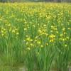 水生植物价位-超值的水生植物优选百草园