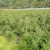 辽宁冷杉苗-哪里有卖品种好的冷杉