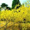 青州盆栽迎春-成活率高的盆栽迎春出售