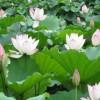 盆栽观赏荷花图片哪里有-郑州哪里有口碑好的观赏荷花