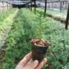 抚顺红豆杉-品种好的红豆杉上哪买