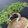 黑格斯盆景如何养护_想买销量好的红豆杉盆景,就到陕西天行健生物