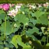 新乡盆栽观赏荷花图片_口碑好的观赏荷花当选郑州花满溪园艺场