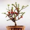 新疆海棠盆景哪家好_想买销量好的新疆海棠盆景,就到宁夏永美盆景