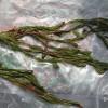 矮生苦草价格-供应江西品种纯的狐尾藻