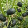 贝贝南瓜供应|潍坊哪里有供应口碑好的贝贝南瓜