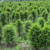 红豆杉绿化苗加盟|优惠的红豆杉苗出售