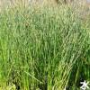 惠州湿地植物-成活率高的湿地植物出售