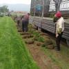 沈阳草坪种植|哪里能买到优良的草坪