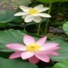 优惠的荷花盆栽种植-优良荷花盆栽种植上哪买