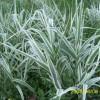 花叶芦竹-实惠的潍坊哪里有,花叶芦竹