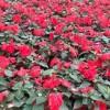 山东盆栽花卉-山东花卉市场特色
