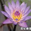 重庆睡莲-在哪能买到质量好的睡莲