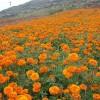 万寿菊-潍坊知名的种植基地提供商,万寿菊