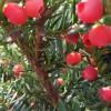 辽宁红豆杉苗-好种植的红豆杉优选弘玮苗圃