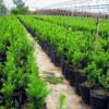 宝鸡红豆杉批发-划算的红豆杉出售
