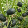批发贝贝南瓜-广聚果蔬供应物超所值的贝贝南瓜