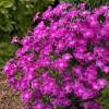 贵州欧石竹-丰阳花卉苗木销量好的欧石竹出售
