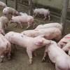 出售仔猪|来宝玄种猪,买实惠的仔猪