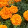 山西孔雀草-来刘俊杰花卉苗木,买口碑好的孔雀草