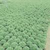 山东国庆菊种植基地-口碑好的国庆菊市场价格