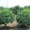 定西园林绿化-想要品质好的园林绿化苗木就来甘肃华艺园林绿化