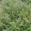 红豆杉苗厂家-优良的红豆杉苗出售