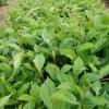 五味子苗厂家-想要优良的五味子苗就来桓仁增贵