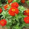 百日草种植基地-来雅润花卉苗木-买口碑好的百日草