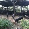 山黑猪价格|选购山黑猪铁岭忆农源牧业