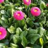 雏菊出售-口碑好的雏菊市场价格