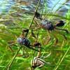 河蟹批发-量子王二力河蟹有品质的盘锦河蟹