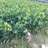 浙江一年杯苗|在哪能买到易成活的一年生油茶苗杯苗