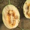 甜瓜种子_专业供应优良|甜瓜种子