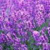 熏衣草种子公司哪家好_四川哪里供应的熏衣草种子品质好