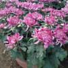 成活率高的大菊花-口碑好的大菊花市场价格