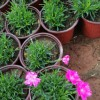 欧石竹种植基地|春诚温室园艺供应优良的欧石竹