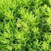 金叶佛甲草供应|物超所值的金叶佛甲草就在实信花卉苗木