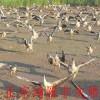鸿雁大雁蛋供应厂家-可信赖的大雁基地倾情推荐