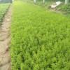 佛甲草价格-山东哪里供应的佛甲草品质好