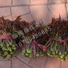 供销潍坊鲜香椿批发-高性价鲜香椿哪里有卖