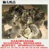广西狮头鹅苗直销-跃龙禽苗孵化有品质的广东狮头鹅苗